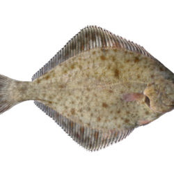 Fladfisk